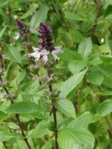 4 plantes aromatique surprenantes